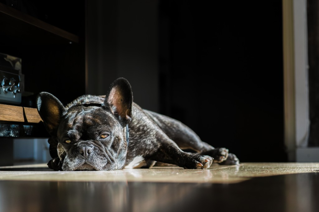french bulldog foveon.
